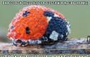 Bardzo rzadkie zdjęcie przedstawiające biedronkę