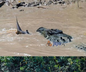 Pojedynek pomiędzy krokodylem a rekinem