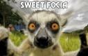 Sweet focia