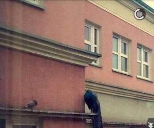 Gołębie w Sosnowcu takie piękne