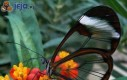 Niezwykły motyl