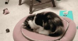 Zabawy kotów