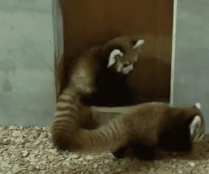 Panda mała, zwana też czerwoną