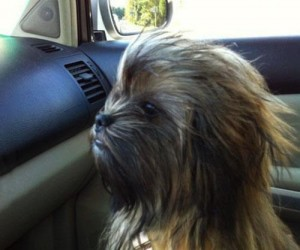 Mam swojego własnego Chewbacca!