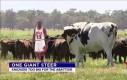 To naprawdę duża krowa
