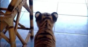 Tygrysek vs pies
