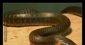 Wąż Baibu