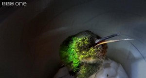 Chrapanie kolibra
