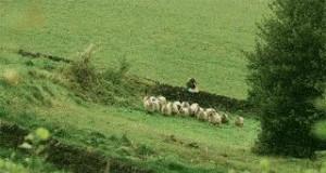 Nie zadzieraj z owcami