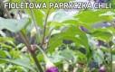 Fioletowa papryczka chili