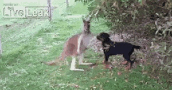 Гифка кенгуру и собака