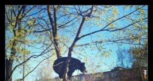 W Rosji takie koty ściąga się z drzew