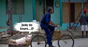 Świnia w drodze...