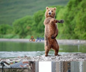Tańczący niedźwiedź nadciąga!