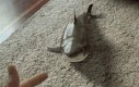 Rekin dywanowy