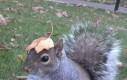 Wiewiórka z liściem na głowie
