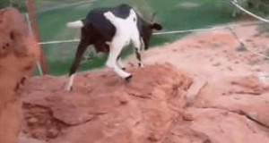 Ta koza nie zna strachu