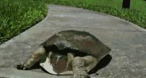 Bardzo szybki żółw