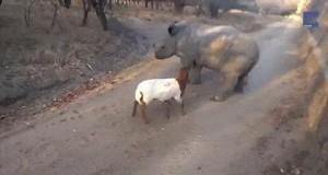 Mały nosorożec myśli, że jest kozą