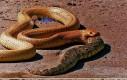 Wąż jedzący węża... Serio?