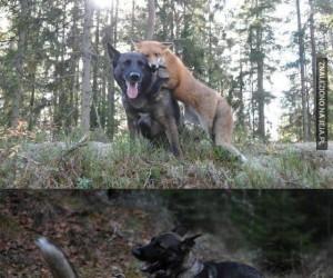 Pies i lis