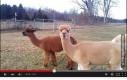 Dziwne psy z długimi szyjami