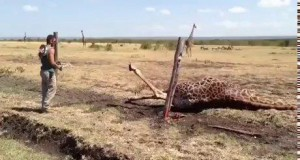 Rytuał wskrzeszenia żyrafy