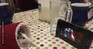 Szczurzy seansik