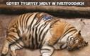Gdyby tygrysy jadły w fastfoodach
