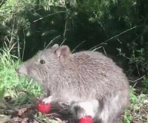 Dwa torbacze wcinają truskawki