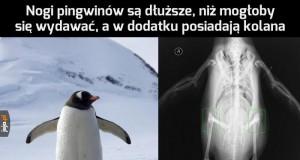 Ciekawostka o pingwinach
