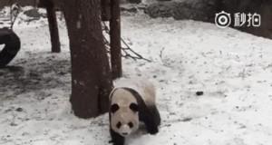 Ta panda coś brała... Na bank