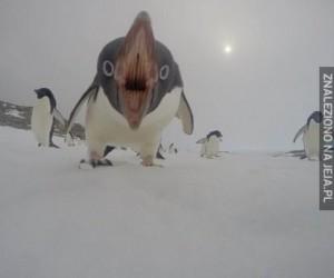 Przerażający pingwin chce zjeść kamerę
