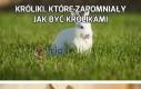 Króliki, które zapomniały jak być królikami