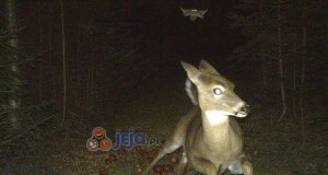 Sarna uciekająca przed latającą wiewiórką