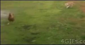 Sprytna kura vs szybki kot