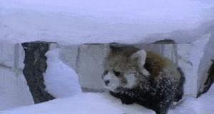 Mała biedna panda uzależniona od heroiny...
