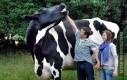 Największa krowa na świecie