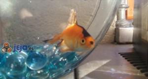 Ryba Adolfa