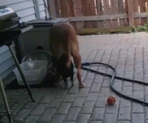 Psiak i jego chrumkający przyjaciel