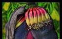 Oto kwiat banana