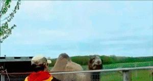 Wielbłąd ludożerca