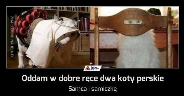 Topnotch Oddam w dobre ręce dwa koty perskie - Jeja.pl RX05