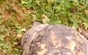 Żółw w natarciu