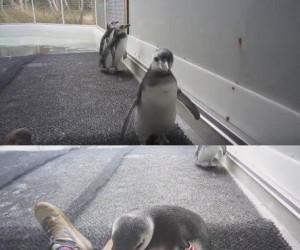 To często spotykane u pingwinów