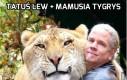 Co powstaje z połączenia lwa i tygrysa