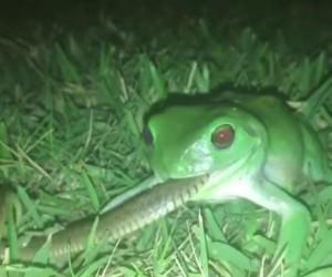 W Australii to żaba zjada węża