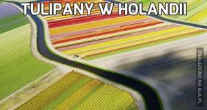 Tulipany w Holandii