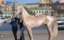 Koń z Turcji, który został uznany za najpiękniejszego na świecie