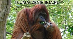 Tymczasem u orangutanów...